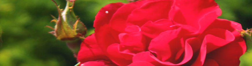 Blomster til begravelse: Pris, tekst og bestilling